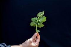 Fresh Green Leaf Of Potato Plant Stock Photos