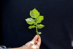 Fresh Green Leaf Of Potato Plant royalty free stock photo