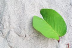 Fresh green leaf put on white soft sand, there are some sand on. It Stock Photos