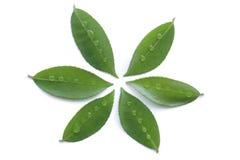 Fresh green leaf and rain drop isolated on white background. Fresh green leaf and rain water drop isolated on white background Stock Image