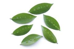 Fresh green leaf and rain drop isolated on white background. Fresh green leaf and rain water drop isolated on white background Royalty Free Stock Photo