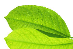 Fresh green leaf with raindrops isolated on white. Background Royalty Free Stock Photos