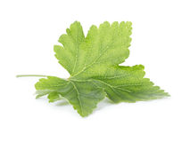 Fresh green leaf of redcurrant Stock Image