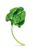 Fresh green leaf spinach. Vector illustration,  on white background Stock Images