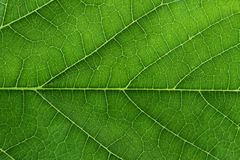 Fresh Green Leaf Texture Closeup Stock Images