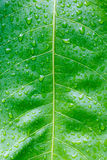 Fresh Green Leaf Texture Closeup Royalty Free Stock Photos