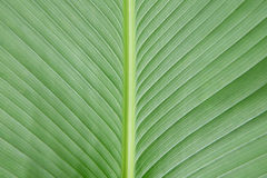 Fresh green leaf texture macro close-up Royalty Free Stock Photo