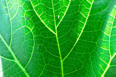 Fresh green leaf texture macro close-up Stock Images