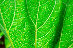 Fresh green leaf texture macro close-up Royalty Free Stock Photos