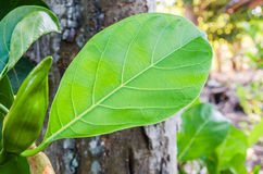 Fresh green leaf on tree Royalty Free Stock Photo