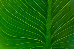 Fresh green leaf. Veins close up macro background Stock Images
