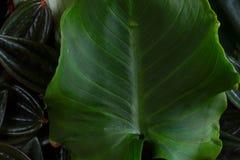 Fresh green leaf. Veins close up macro background Royalty Free Stock Photo
