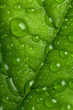 Fresh green leaf with water droplets Stock Photography
