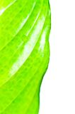 Fresh green leaf and water drops Royalty Free Stock Images