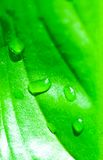 Fresh green leaf and water drops Stock Photography