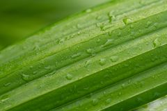 Fresh green leaf with water drops or dew in morning after rain stock image
