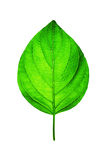 Fresh Green Leaf on White Stock Image