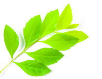 Fresh green leaf on white background Stock Images