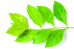 Fresh green leaf on white background Royalty Free Stock Photos