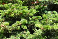 Fresh green leafage of spruce in spring Stock Photo
