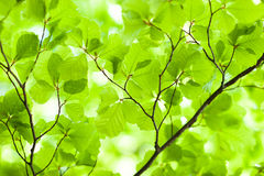 Fresh green leafes Stock Photos