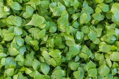 Fresh green leafs background Royalty Free Stock Image