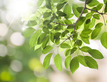 Fresh green leafs background Royalty Free Stock Photography