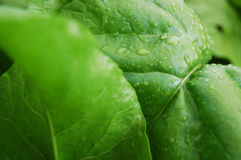 Fresh Green Leafs. Close – up with rain drops royalty free stock photos