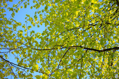 Fresh green leafs of a tree in spring Royalty Free Stock Images