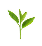 Fresh green leafs of young plant isolated on white. Stock Image