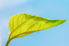 Fresh green leave on blue sky background Stock Images
