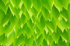 Fresh  green leave wallpaper Stock Photography