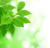 Fresh Green Leaves. Beautiful Fresh Green Leaves on a Blurred Background stock photos