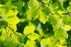 Fresh green leaves Royalty Free Stock Image