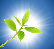 Fresh green leaves. Fresh spring leaves against the sun and blue sky royalty free stock image