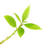 Fresh green leaves. Fresh spring leaves isolated on white background royalty free stock images