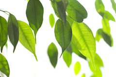 Free Fresh Green Leaves Stock Photo - 13638910