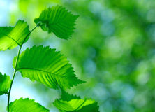 Fresh green leaves. Royalty Free Stock Images