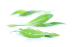 Fresh green leaves. Isolated on white background Royalty Free Stock Photo