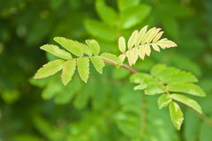 Fresh green leaves. Of the mountain ash Stock Images