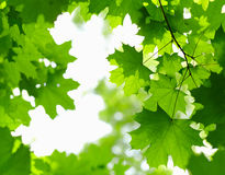 Fresh Green Leaves. Royalty Free Stock Image