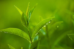 Fresh and green leaves Royalty Free Stock Images