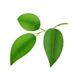 Fresh green leaves. Closeup of three fresh green leaves on stalk, white background Royalty Free Stock Photography