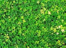 Fresh green leaves Royalty Free Stock Photos
