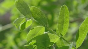 Fresh and green leaves stock footage