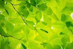 Fresh Green Leaves of Beech-Fagus crenata Stock Photography