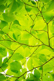 Fresh Green Leaves of Beech-Fagus crenata Royalty Free Stock Image