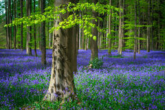 Fresh green leaves on a beech in a sea of blue bells stock photo