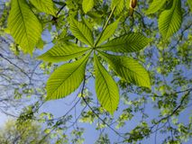 Fresh green leaves on blue sky background. Fresh green leaves bright and detailed view on blue sky background royalty free stock photography