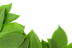 Fresh green leaves border. On white background Royalty Free Stock Photos